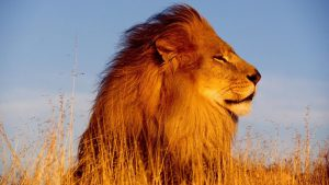 african-lion-pictures-free